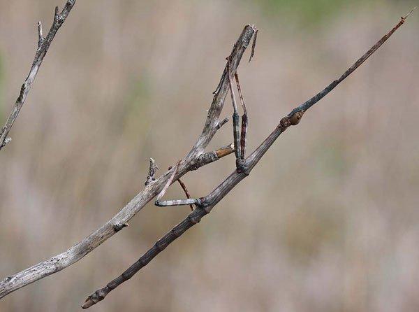 14 kỷ lục gia trong thế giới côn trùng