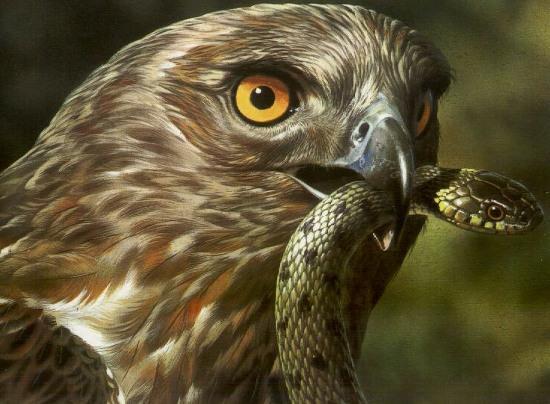 7 loài săn mồi ăn thịt rắn độc như... ăn kẹo