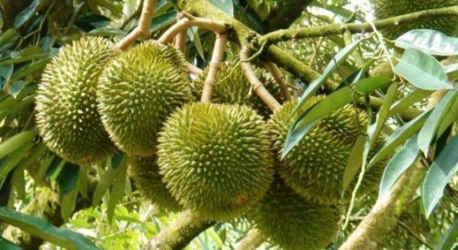 8 điều bất ngờ về trái sầu riêng không phải ai cũng biết