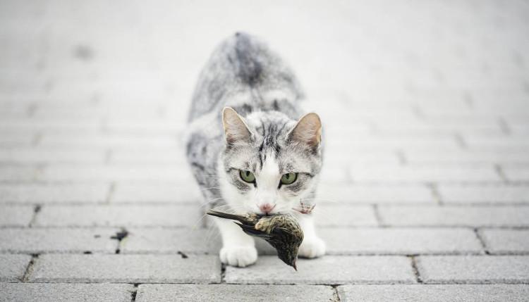 Australia báo động nguy cơ mèo tận diệt loài chim