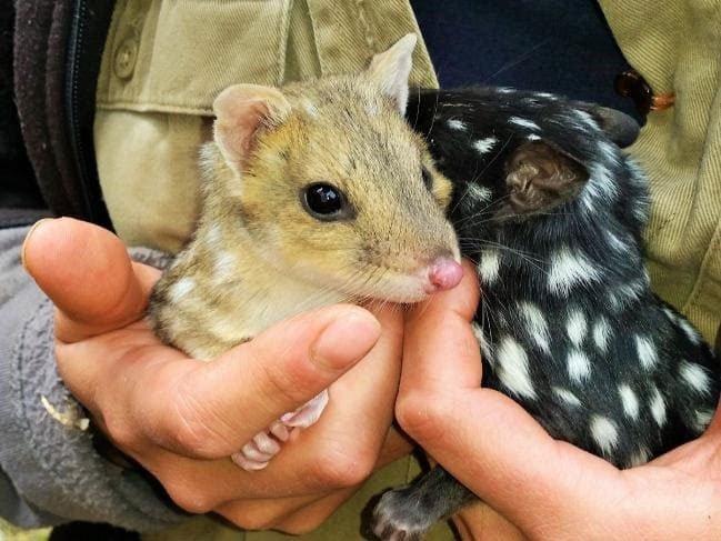 Australia đưa trở lại lục địa loài mèo túi biến mất suốt 50 năm