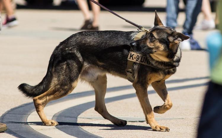 Bạn sẽ choáng khi biết quy trình chặt chẽ để huấn luyện một chú chó cảnh sát
