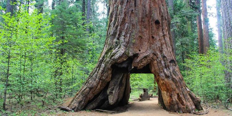 Bão lớn quật ngã cây cổ thụ 1000 năm tuổi, biểu tượng của bang California