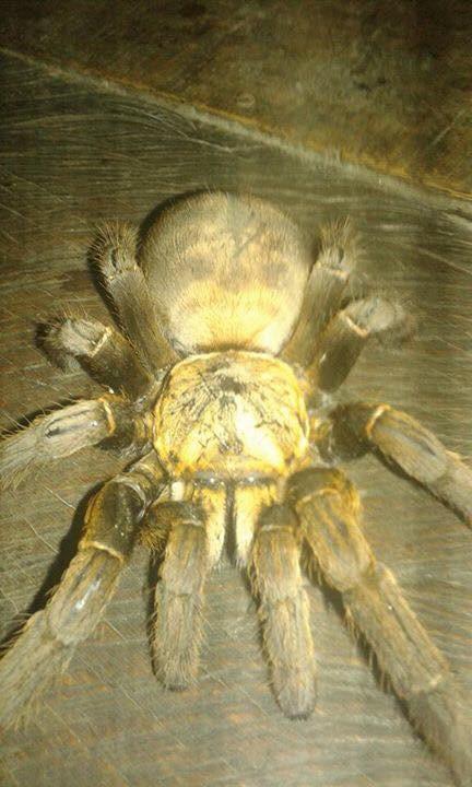 Bắt được nhện quái vật dài 20cm ở Hòa Bình