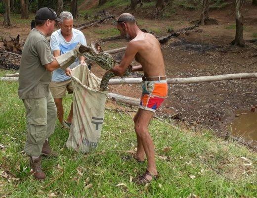 Bắt trăn quái vật dài 5 mét ăn trộm gà vịt ở Nam Phi