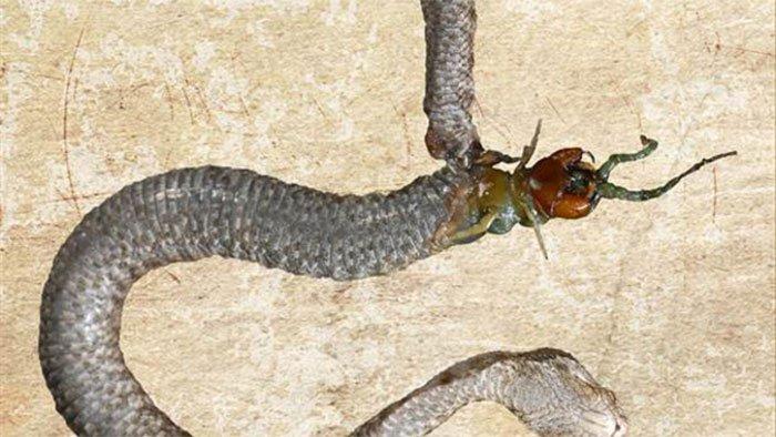 Bị nuốt sống, rết cắn thủng bụng rắn chui ra ngoài