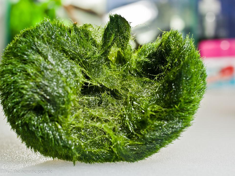 Bóng rêu - báu vật tự nhiên của người dân Nhật Bản