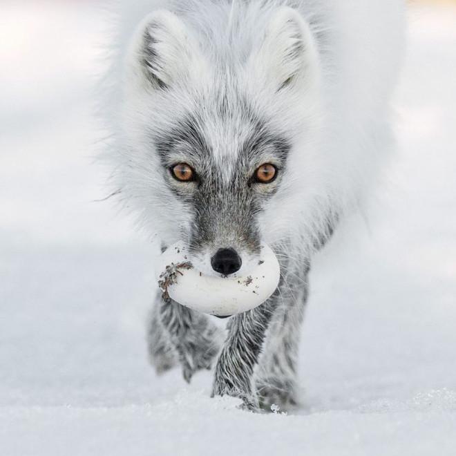 Bức ảnh có khả năng nhận giải cao nhất tại Wildlife Photographer of the Year 2017