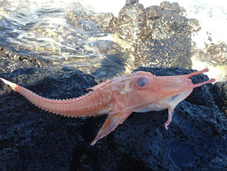Cá biển bọc thép quý hiếm sa lưới ngư dân