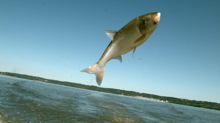 Cá chép châu Á xâm lược các vùng nước ở Canada và Mỹ