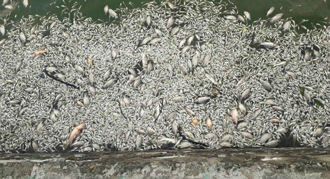 Cá chết gây độc cho người ăn như thế nào?