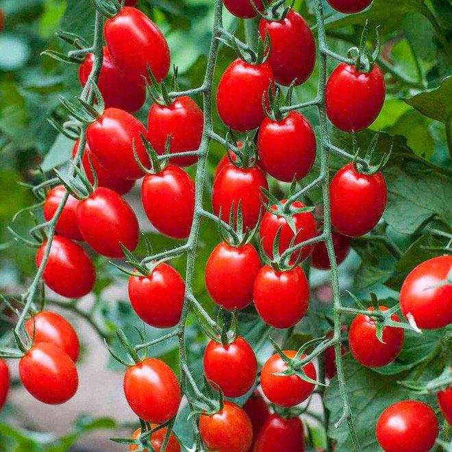 Cà chua là trái cây hay rau củ? Câu hỏi nhiều khi gây rất nhiều tranh cãi