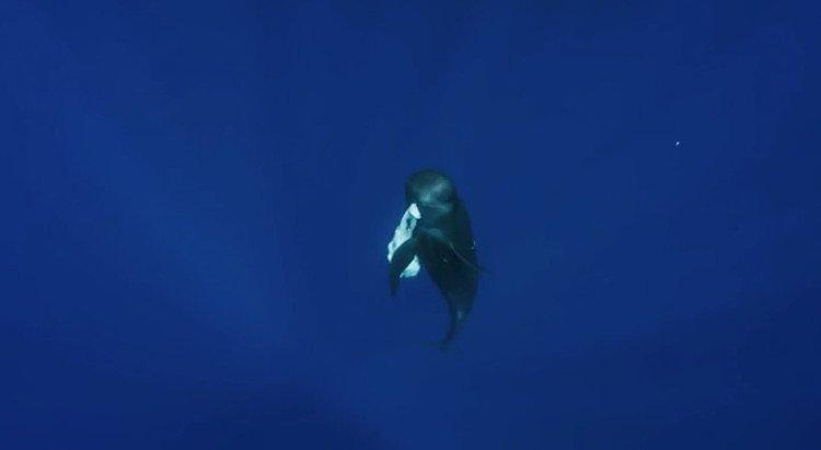 Cá heo và cá voi canh xác con non suốt nhiều ngày