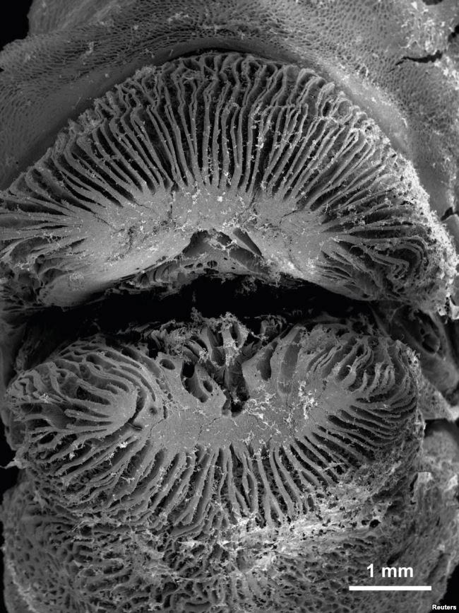 Cá hút thịt san hô bằng nụ hôn tử thần