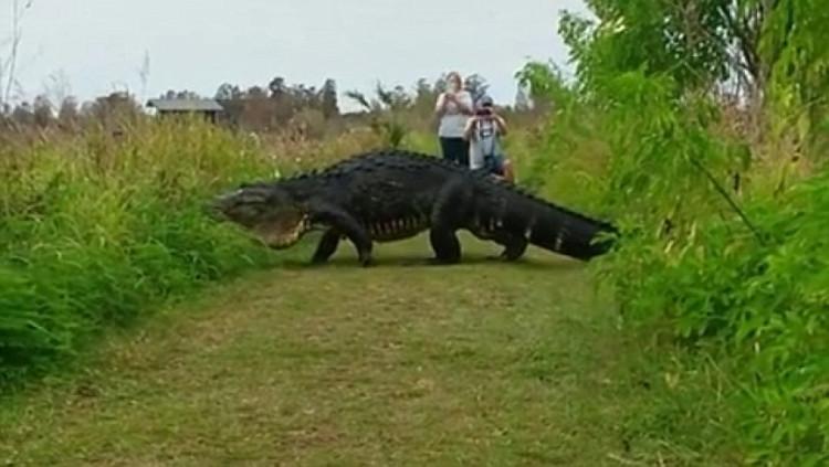 Cá sấu to như khủng long, đi dạo thong dong khắp nơi