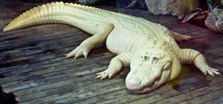 Cá sấu trắng nghi được dùng để làm túi Hermès Birkin quý hiếm đến độ nào?