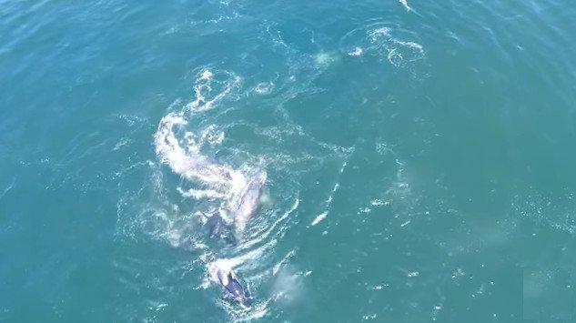 Cá voi xám mẹ bất lực nhìn đàn cá voi sát thủ tách con ra để ăn thịt