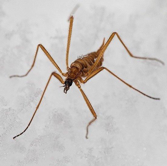 Các loài muỗi kinh dị không thèm hút máu người