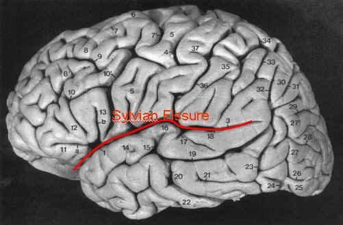 Các nhà khoa học đã làm gì với bộ não của Albert Einstein