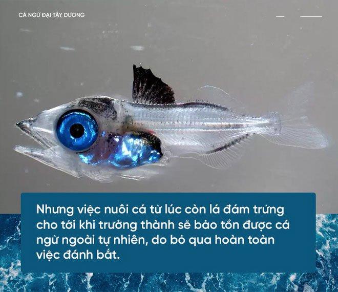 Các nhà khoa học đang thuần hóa cá ngừ vây xanh để có đủ nguyên liệu làm sushi
