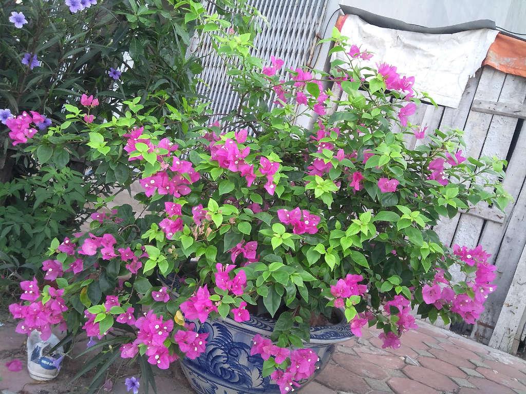 Cách chăm sóc cây hoa giấy cho ra hoa quanh năm