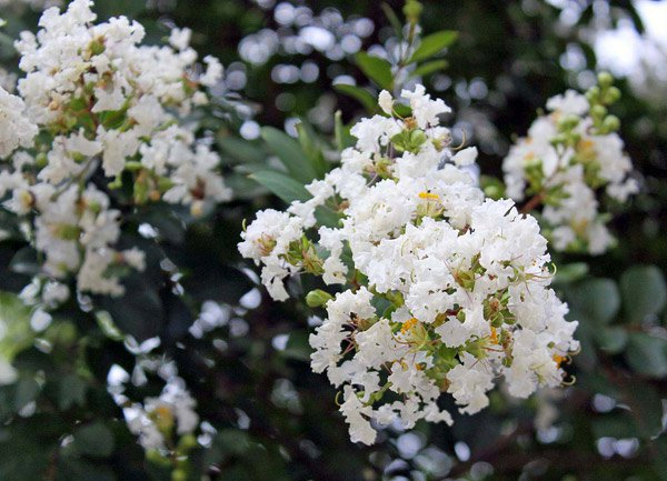 Cách trồng và chăm sóc hoa tường vy cánh mỏng