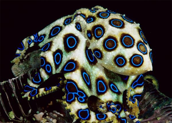 Cận cảnh bạch tuộc đốm xanh có nọc độc gấp 50 lần rắn hổ mang