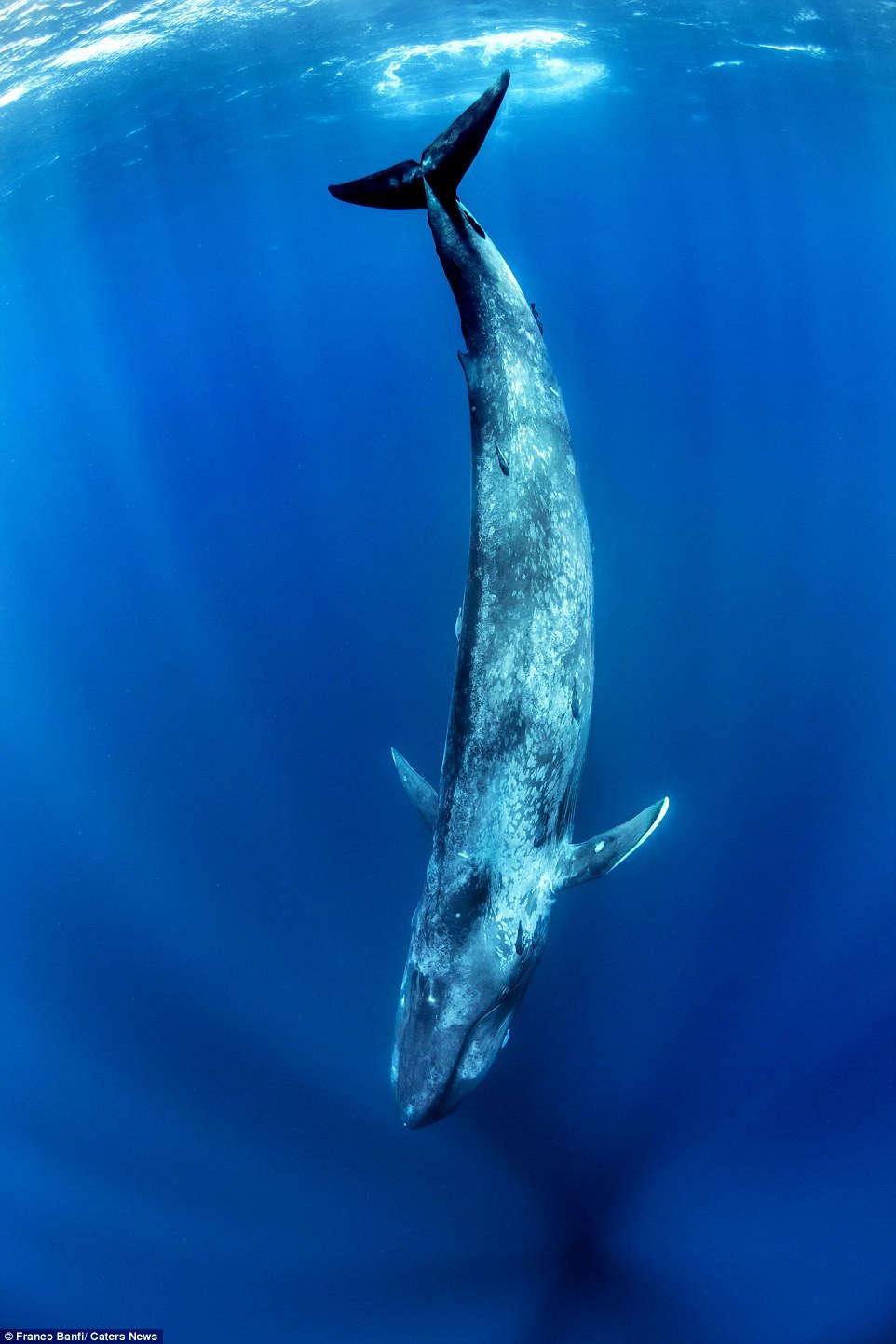 Cận cảnh cá voi xanh 170 tấn lớn nhất hành tinh