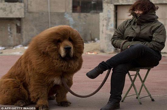 Cận cảnh loài chó ngao Tây Tạng giá khủng