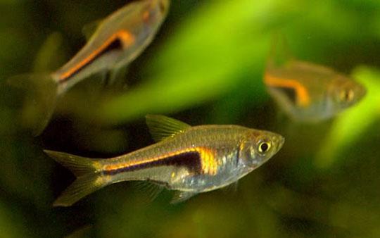 Chân dung 12 loài cá nước ngọt mới ở Việt Nam