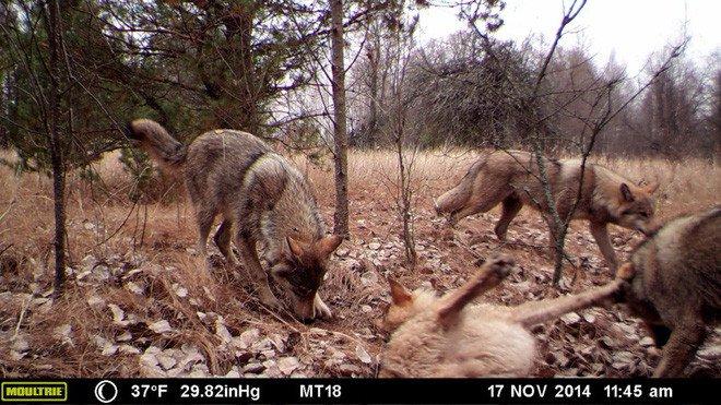 Chernobyl là thảm họa của con người, nhưng lại là tin vui với động vật ở đây