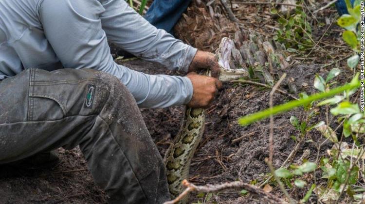 Chiến dịch lùng giết trăn Miến Điện khổng lồ ở Mỹ