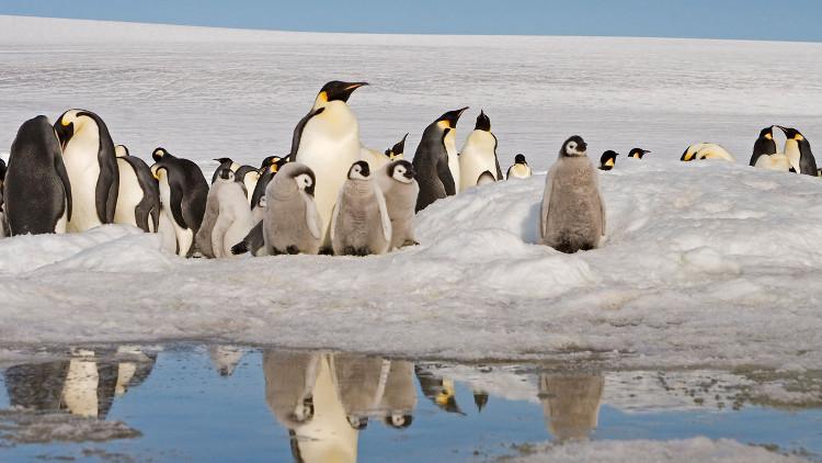 Chim cánh cụt hoàng đế có thể biến mất vĩnh viễn