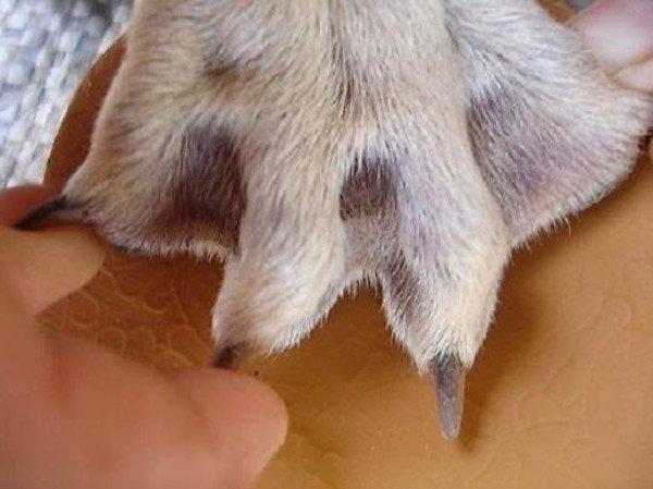 Chó Phú Quốc: Huyền thoại và sự thật