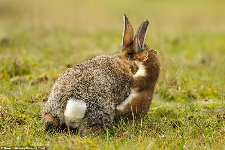 Chồn cắn cổ, đoạt mạng thỏ lớn gấp 4 lần