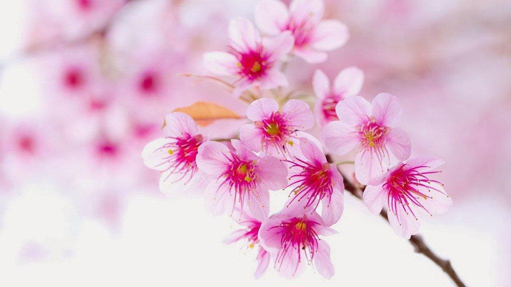 Chùm ảnh: Hoa đào đẹp rực rỡ đón tết 2016