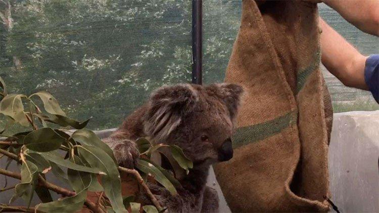 Chúng ta đã có cách cứu lấy loài gấu Koala, nhưng nó hơi kinh một chút