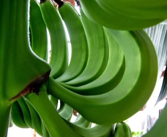 Chuối xanh và 13 tác dụng tốt cho sức khoẻ hẳn bạn chưa biết