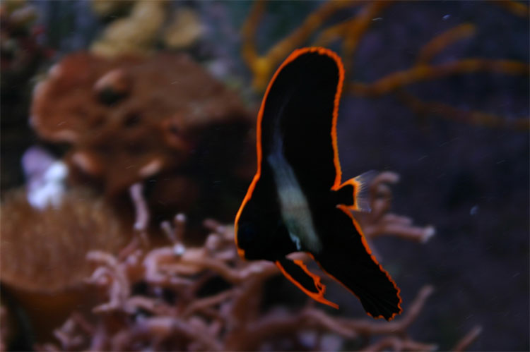 Có một loài chim lửa tuyệt đẹp bơi lội được tung tăng trong nước