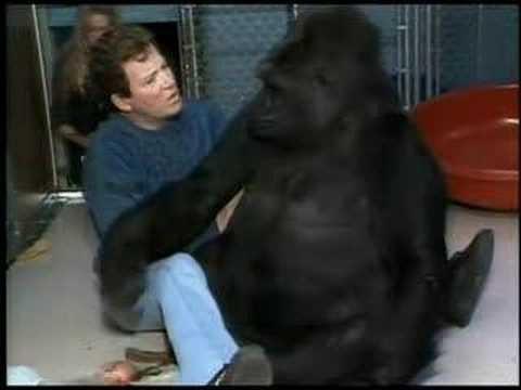 Con khỉ đột biết hơn 1.000 từ ngôn ngữ qua đời ở tuổi 46