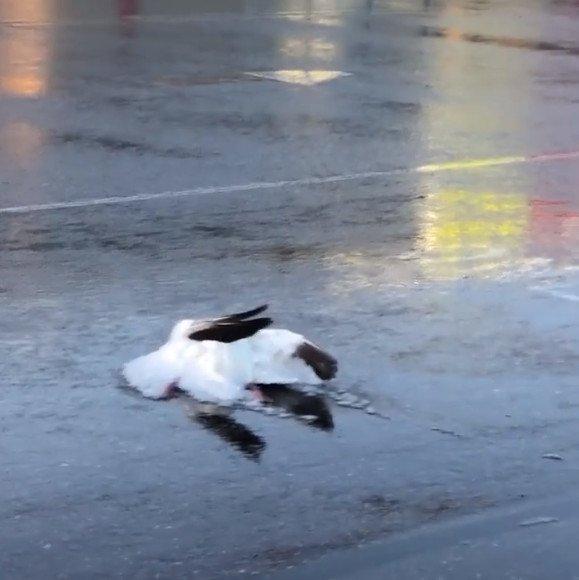 Cơn mưa ngỗng trút xuống thành phố Mỹ