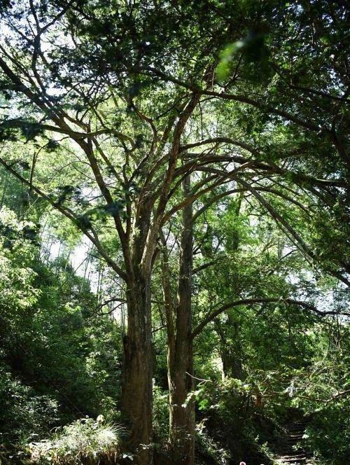 """Cụ cây thông đỏ """"thành tinh"""", hơn 450 tuổi vẫn quấn quýt gây sốc"""