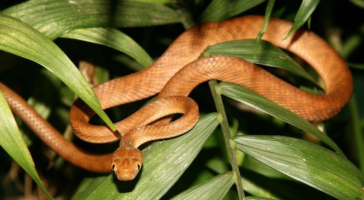 Đại nạn rắn hoành hành khiến đảo Guam bặt tiếng chim