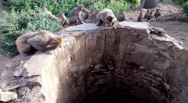 Đàn khỉ cứu mạng báo rơi xuống giếng ở Ấn Độ