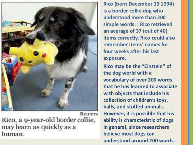 Đâu là giống chó thông minh nhất thế giới? Hãy gọi tên Border Collie!