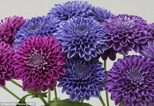 Đẹp tuyệt mỹ những bông cúc xanh đầu tiên trên thế giới