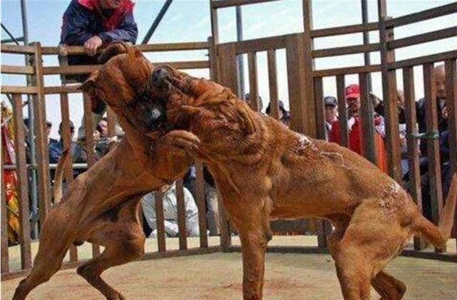 Điểm mặt chỉ tên những hung thần mạnh không kém chó ngao Tây Tạng