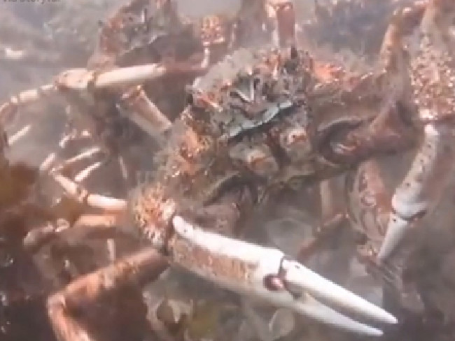 Đội quân cua nhện xé xác bạch tuộc dưới đáy biển