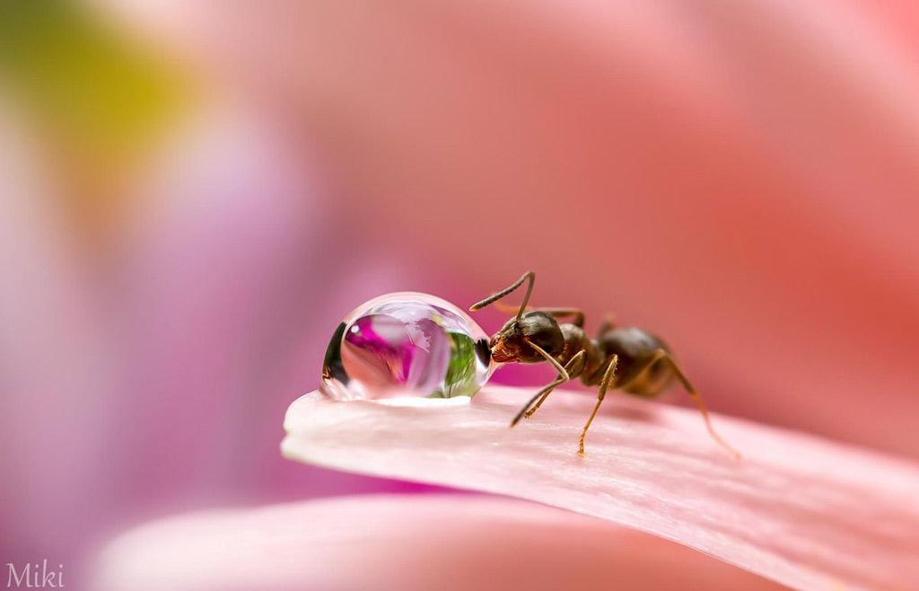 Đứng hình với bộ ảnh đẹp long lanh: Giọt sương và con kiến