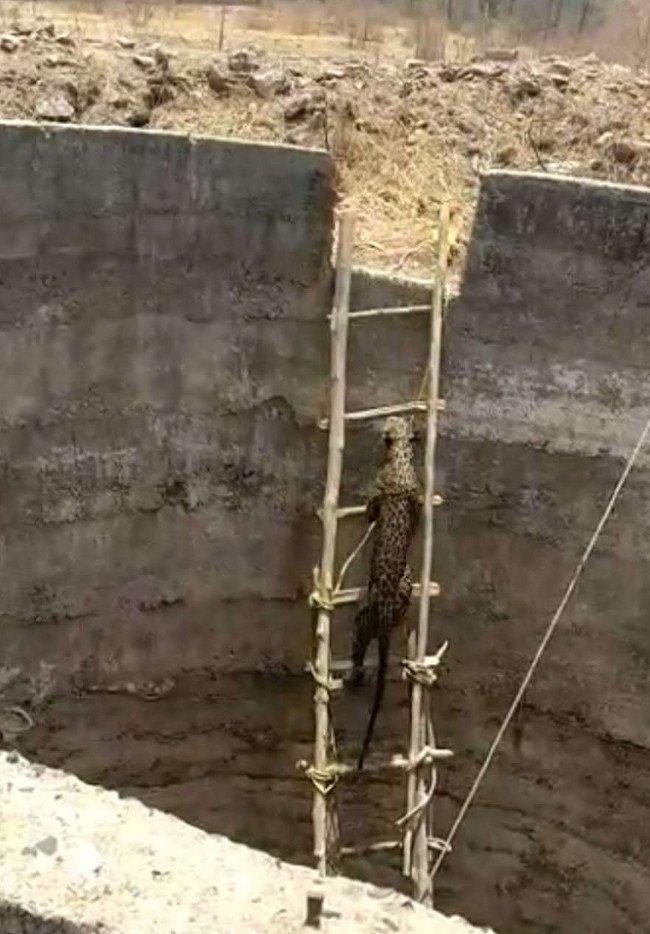 Dùng thang tre giải cứu báo hoang dưới giếng sâu 6 mét